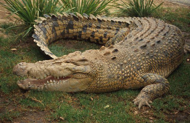 Animaux-totem et symbolique des animaux Crocodile