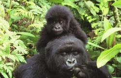 Rwanda: une maman gorille donne naissance à deux jumeaux