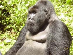 Gorille dans le Parc des Virunga