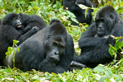 Les gorilles au Rwanda