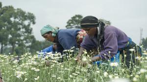 Rwanda : La hausse de la production du pyrèthre, une aubaine pour la filière ?