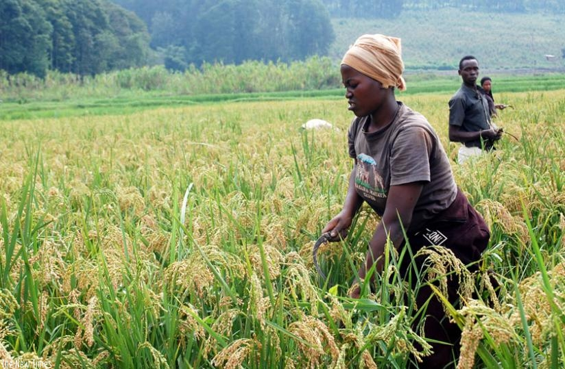 Rwanda: Les causes profondes qui handicapent la relance de l'agriculture